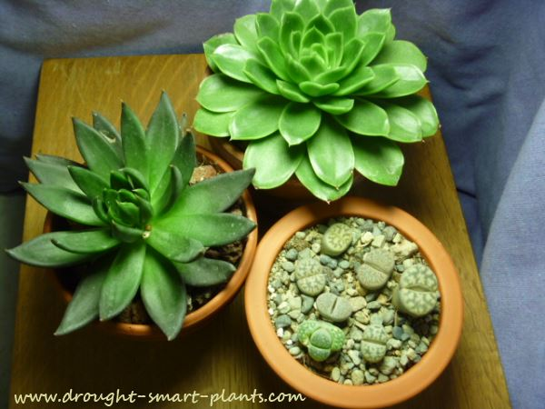 Xerophytes make great house plants...
