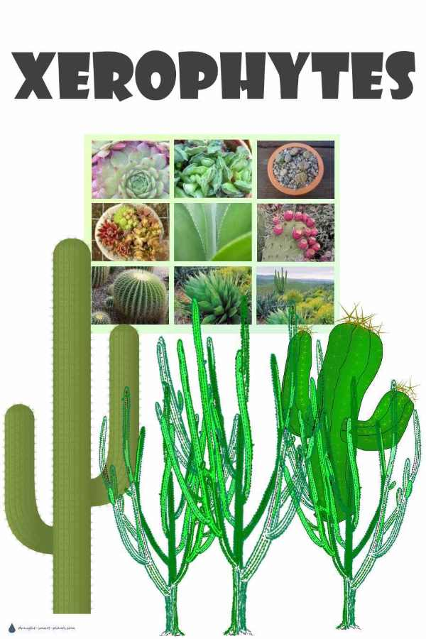 Xerophytes - plants with extremely low water requirements