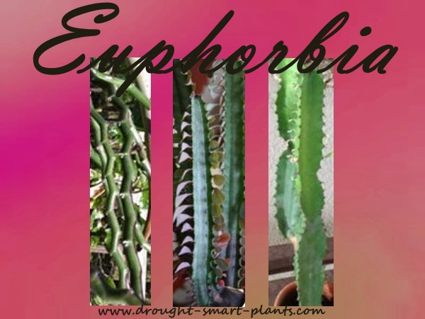 Euphorbia - poisonous yet beautiful succulent plants