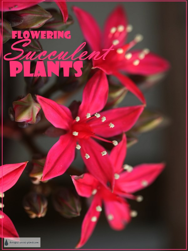 Flowering Succulents - blooming beauty