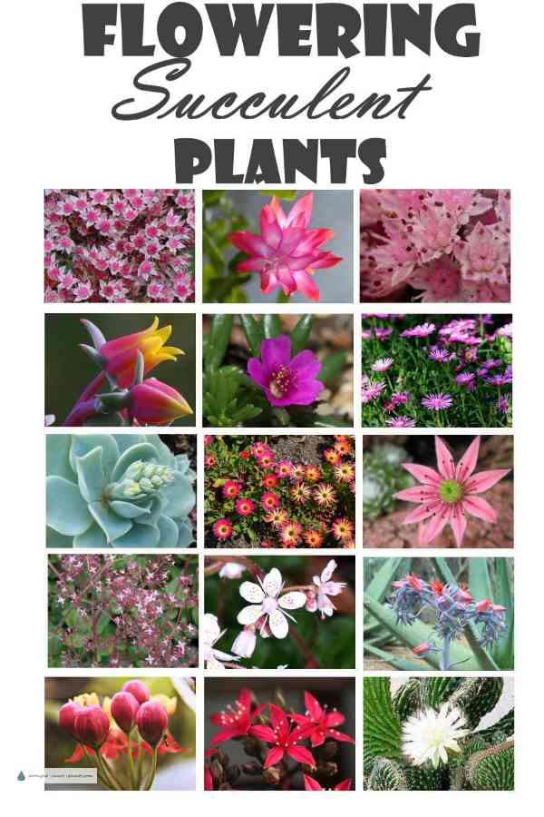 Succulent plants are gorgeous anyway - and even more so when they bloom - Flowering Succulents - blooming beauty