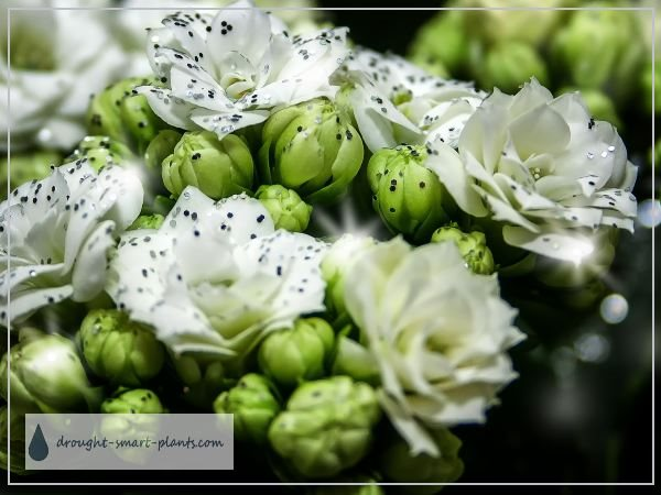 Flowering succulent plants succulent plants with flowers kalanchoe are renowned for their succulent flowers mightylinksfo