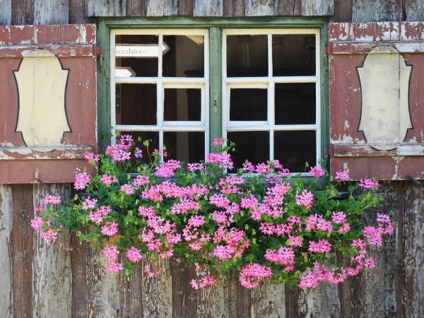 Ivy Geraniums in a window box