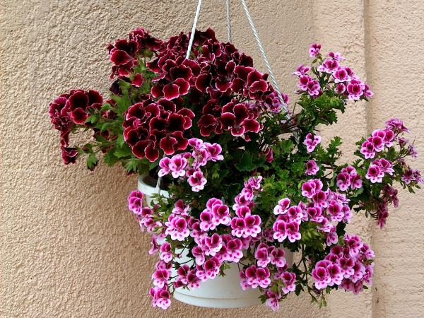 Regal or Martha Washington Geraniums
