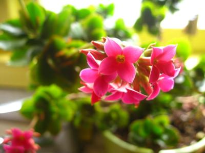 Kalanchoe blossfeldiana green leaves with scalloped pink edges small pink flowers mightylinksfo