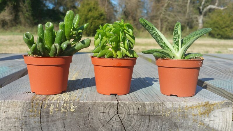 Guest Post Sarah Taylor, Watering Succulents