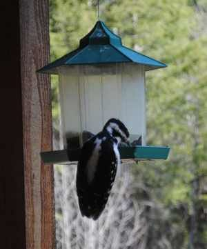 Hairy Woodpeckers love sunflower seeds...