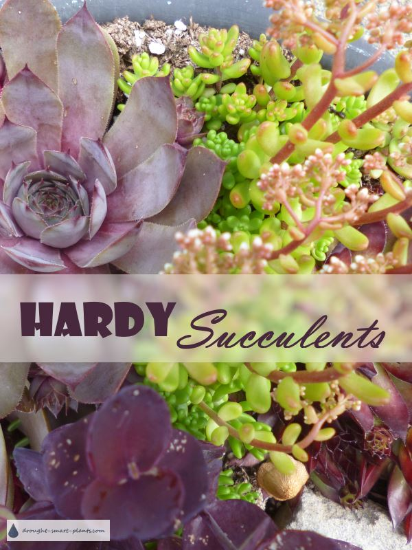 Hardy Succulents happily combine in planters, rockeries and crafts...