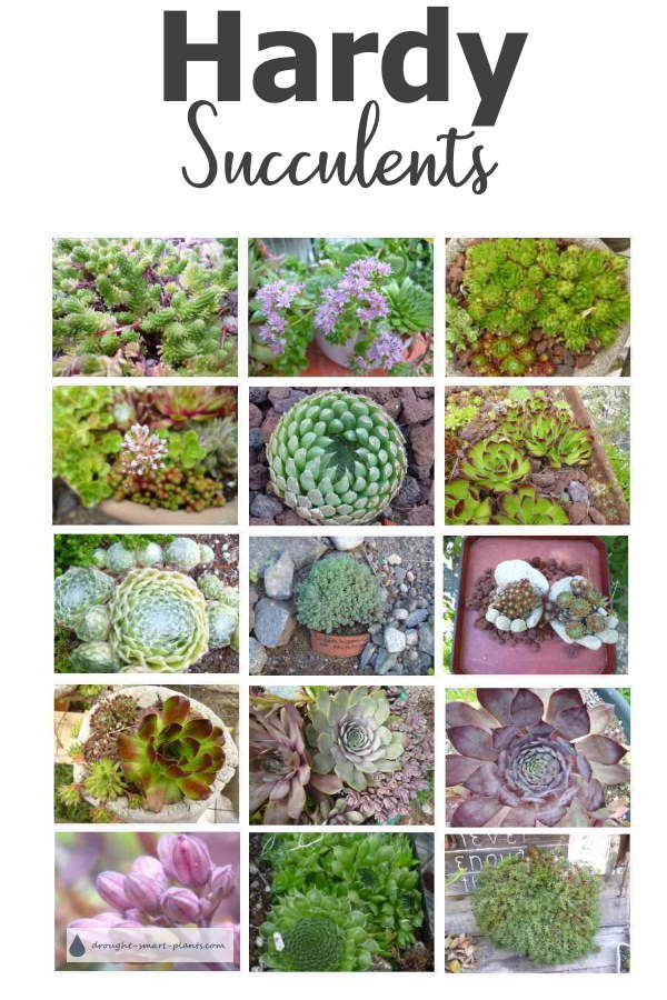 Hardy Succulents in a collage