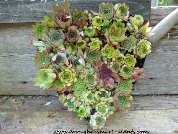 Less than a week after planting, the Sempervivum are recovering