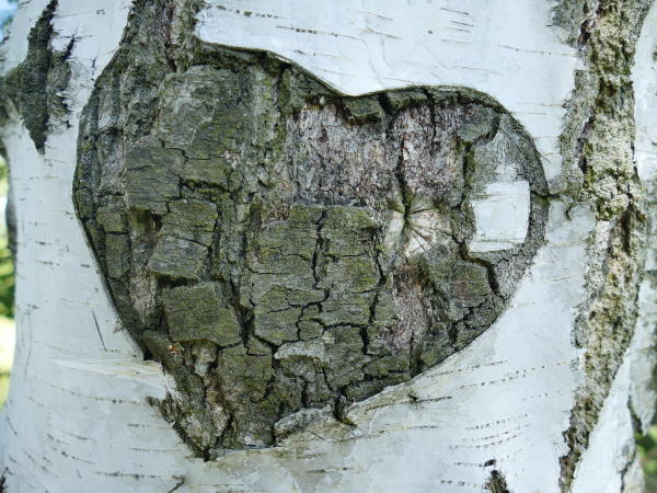 Bark scarred in the shape of a heart