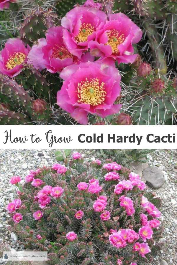 How to grow Cold Hardy Cactus