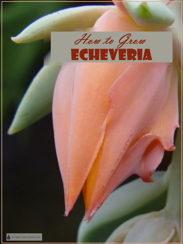 How to Grow the most gorgeous Echeveria ever...