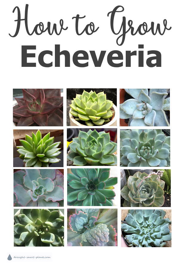 Echeveria aren't hard to grow - learn How to Grow the most gorgeous Echeveria ever...