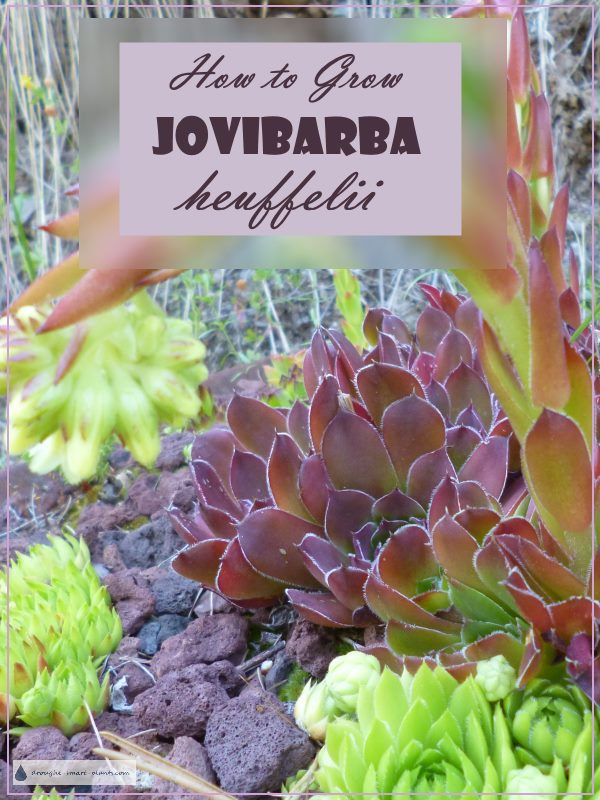 Gorgeous rich red Jovibarba heuffelii