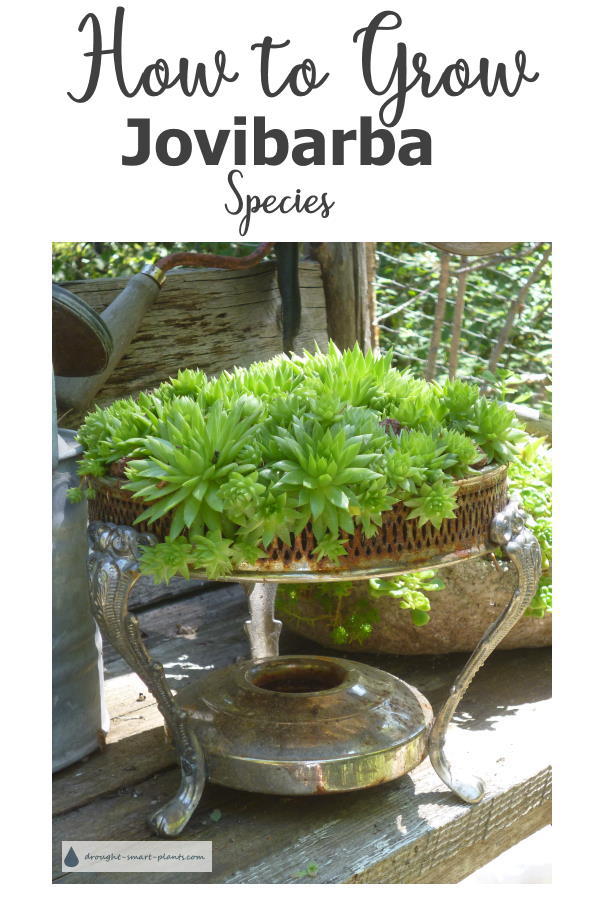 How to Grow Jovibarba species