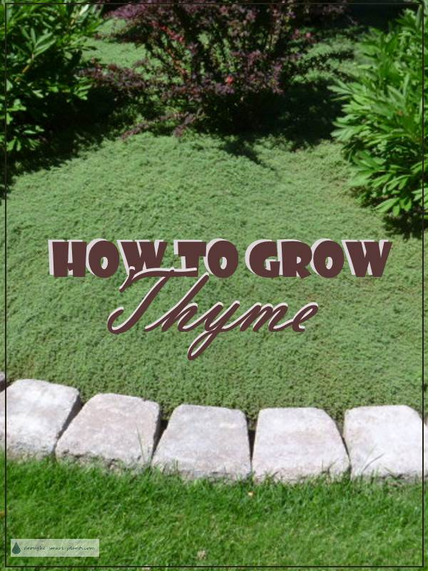 How to Grow Thyme