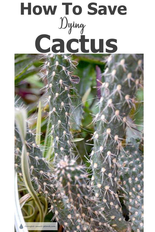 How To Save Dying Cactus