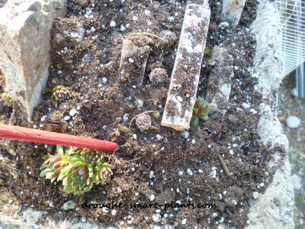 Planting the small alpines and succulents
