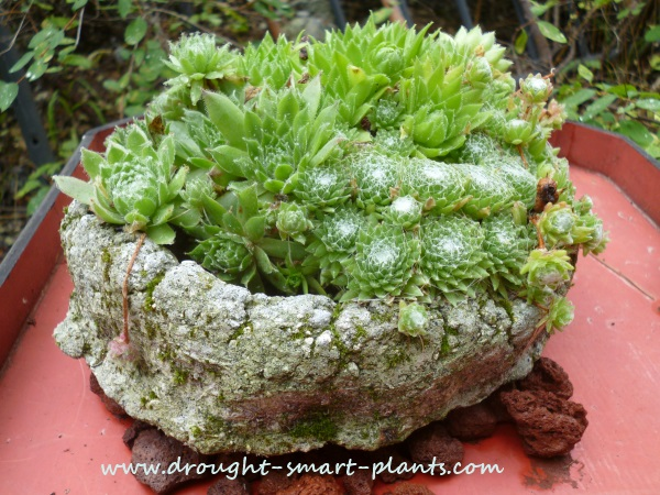 Sweet little hens and chicks snuggled into a hypertufa pinch pot