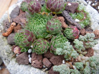 another great selection of minature hardy succulents