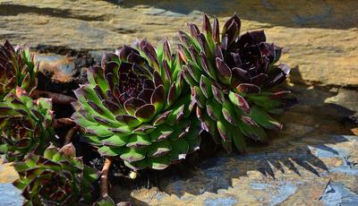 Succulents growing in a rock crevice - perfect drainage!
