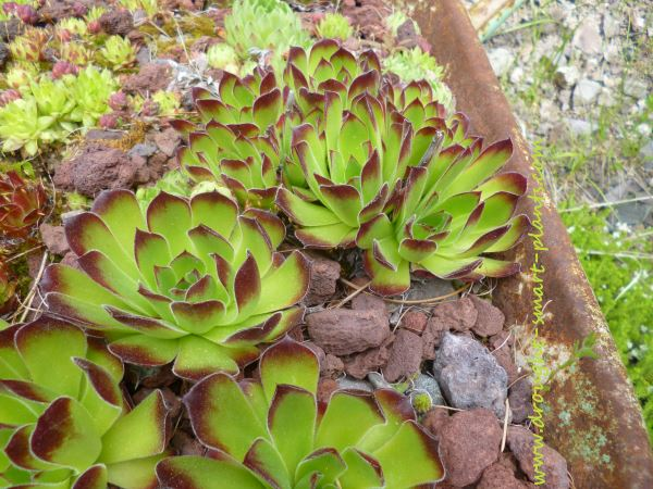 Use distinctive and drought tolerant succulent plants in the design of your xeriscape