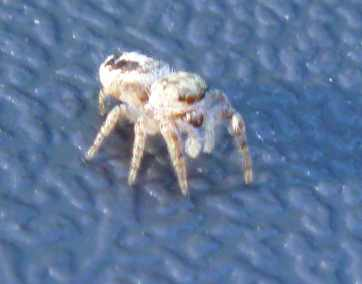 Small brown jumping spider