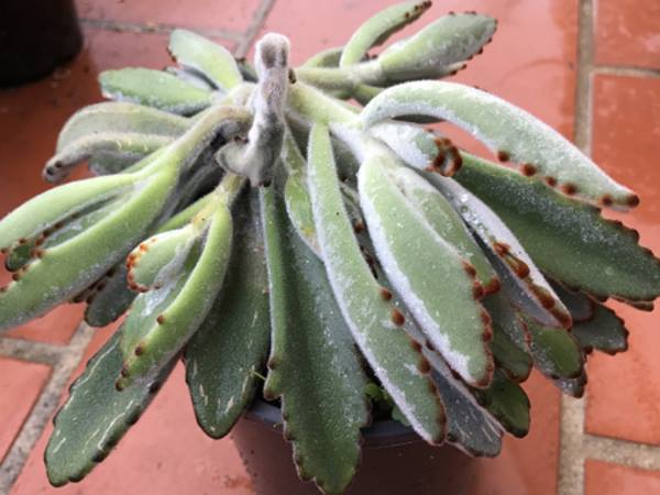 Kalanchoe tomentosa, overwatered