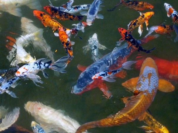 Healthy Colorful Koi in crystal clear water