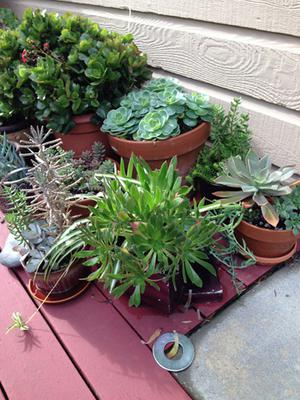 mixed succulents in containers in the rain