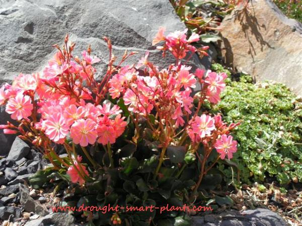 Lewisia, gorgeous in bloom, ignored otherwise