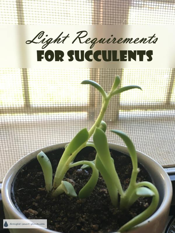 Light Requirements for Succulents