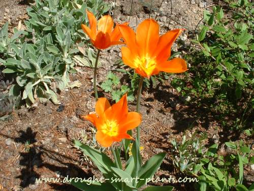 Lily flowered tulips are different and fabulous...