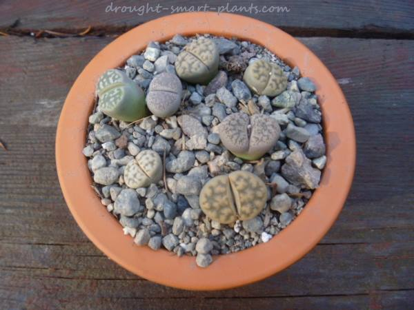 Lithops in a favorite terracotta clay pot