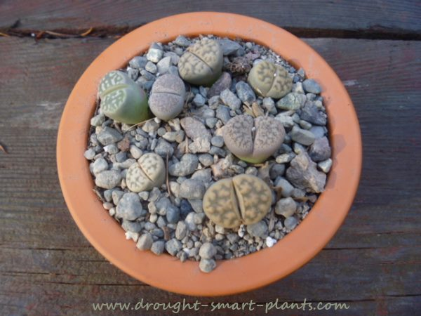 Lithops - plants in disguise
