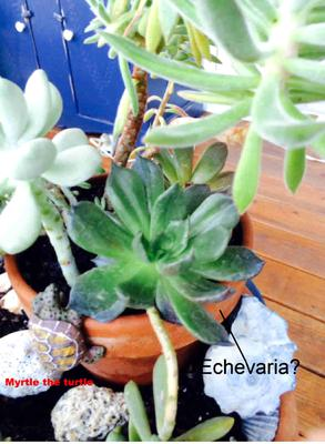 some type of Echevaria