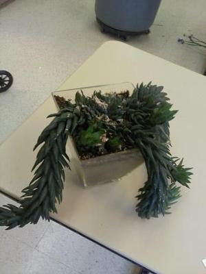 unidentified succulent