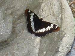 Lorquins Admiral Butterfly