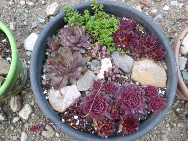 The winding pathway leads from one pot of hardy succulents to the next...