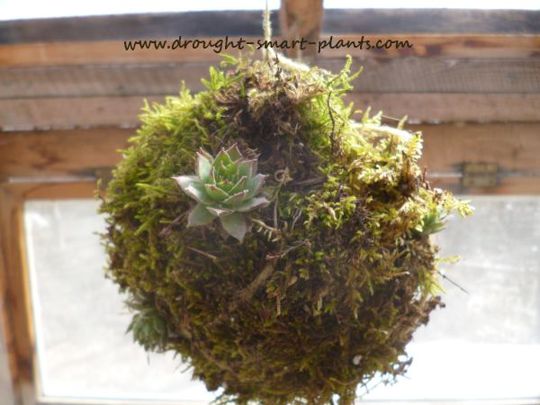 Moss Balls, sometimes called 'String Gardens' are a fun way to grow all kinds of plants (including succulents)