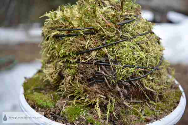 Moss Topiary wound with wire