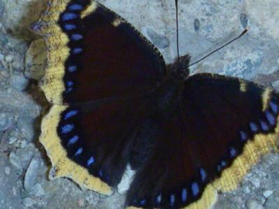 Mourning Cloak Butterfly top view