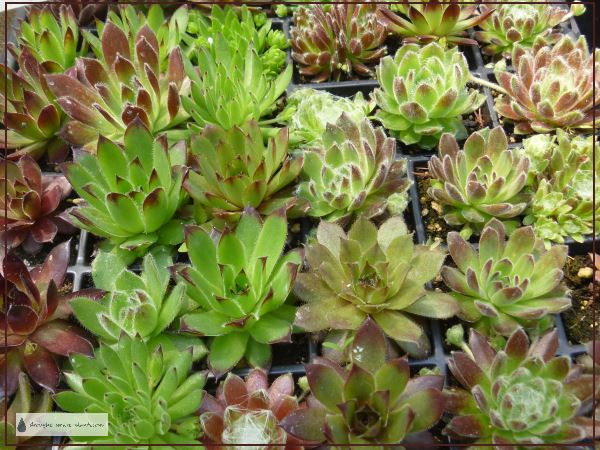 Moving Succulents - plugs of Sempervivum