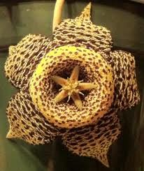 Example of a Stapelia flower