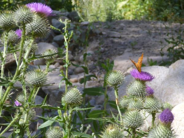 Cirsium vulgare, Bull Thistle is a favorite nectar plant for many wild bees and butterflies...