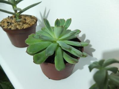 B) Maybe Echeveria pulidonis?