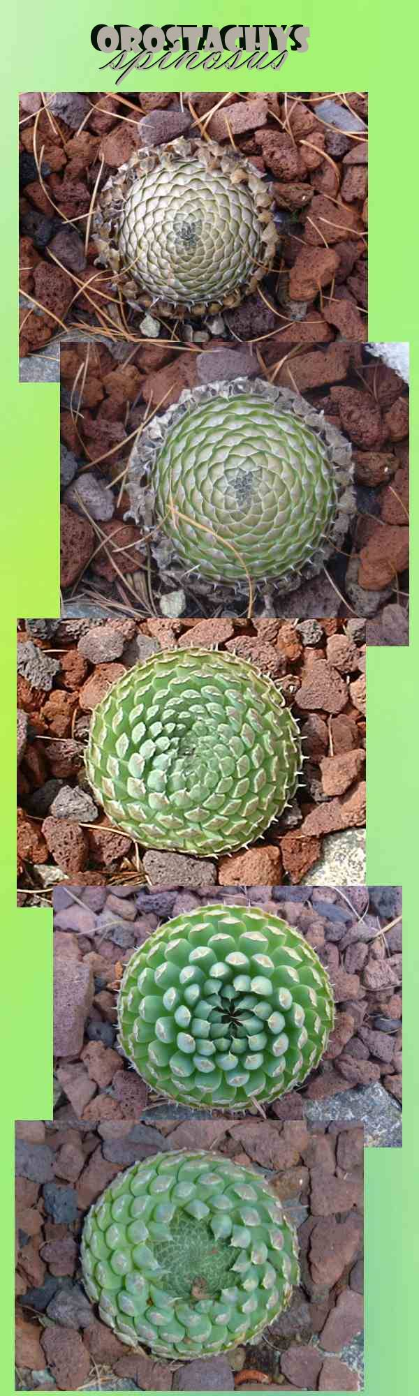 Orostachys spinosus life cycle