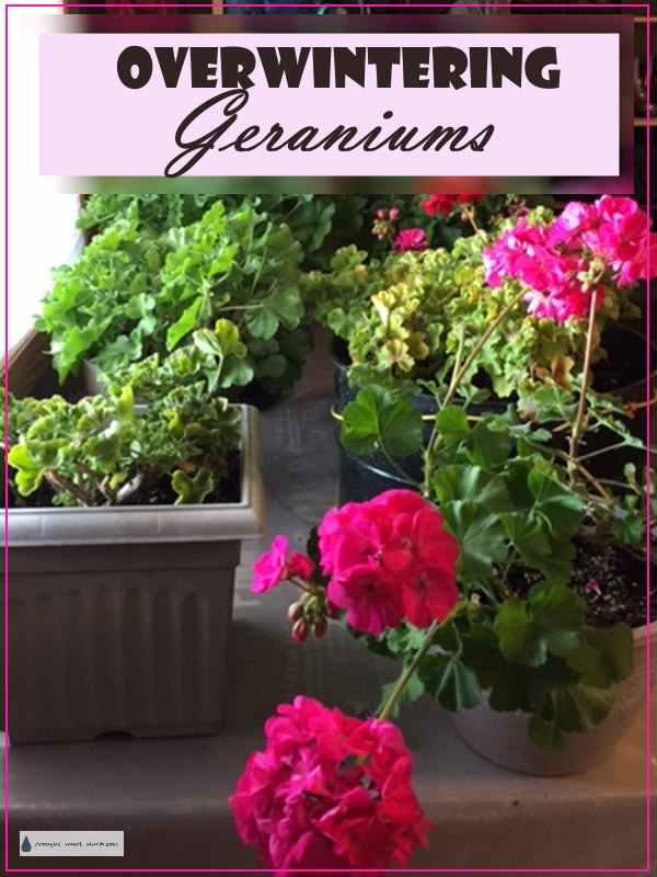 Overwintering geraniums tips and methods - Overwintering geraniums tips ...
