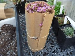Roll Cardboard Tubes to hold the plant in place